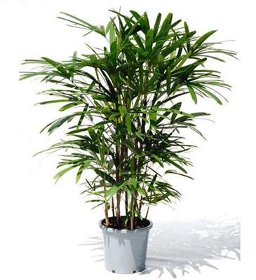 Рапис (пальма)