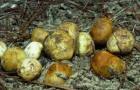 Ризопогон желтоватый