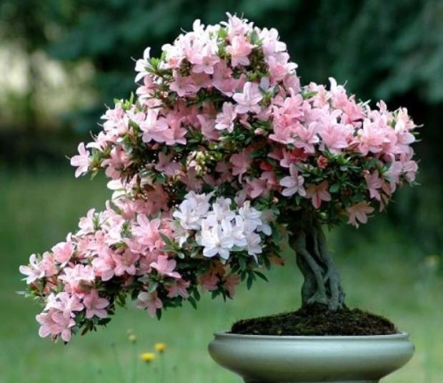 Рододендрон (Азалия)