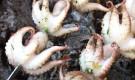 Шашлык из осьминогов
