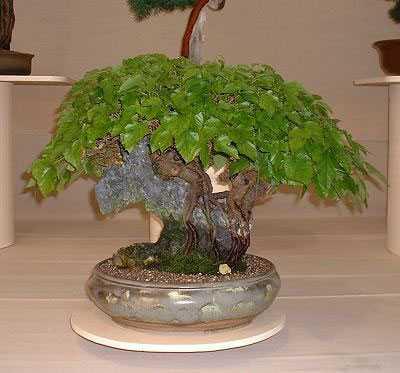 Шелковица, бонсай (Тутовое дерево)