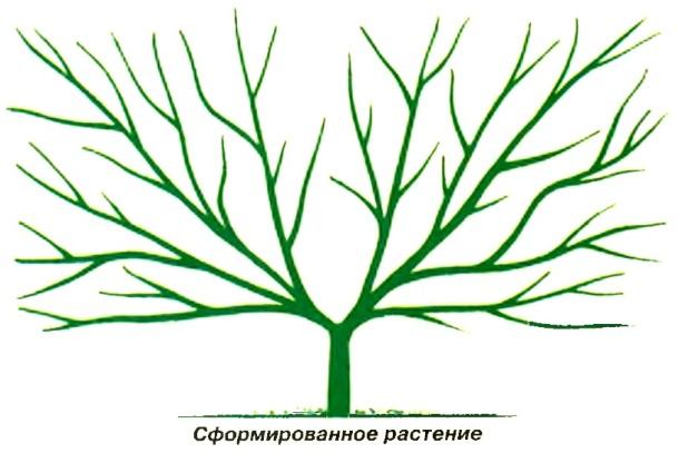 Сформированное растение