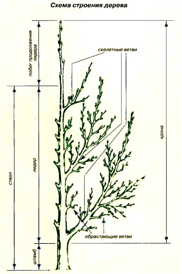 Схема строения дерева