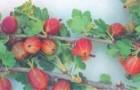 Сорт крыжовника: Уральский розовый