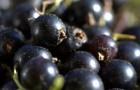 Сорт смородины черной: Агролесовская