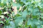 Сорт смородины черной: Александрина