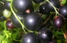 Сорт смородины черной: Алтайская поздняя