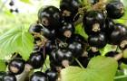 Сорт смородины черной: Арапка