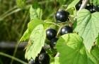 Сорт смородины черной: Аркадия