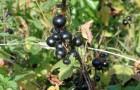 Сорт смородины черной: Августа