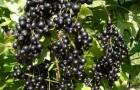 Сорт смородины черной: Ажурная