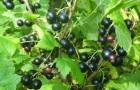 Сорт смородины черной: Богатая