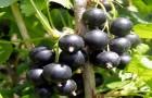 Сорт смородины черной: Болеро