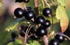 Сорт смородины черной: Бурая дальневосточная (Бурая Фаворской)