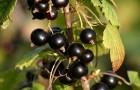 Сорт смородины черной: Черныш