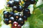 Сорт смородины черной: Дар Смольяниновой