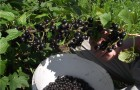 Сорт смородины черной: Дегтярёвская