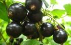 Сорт смородины черной: Добрый джинн