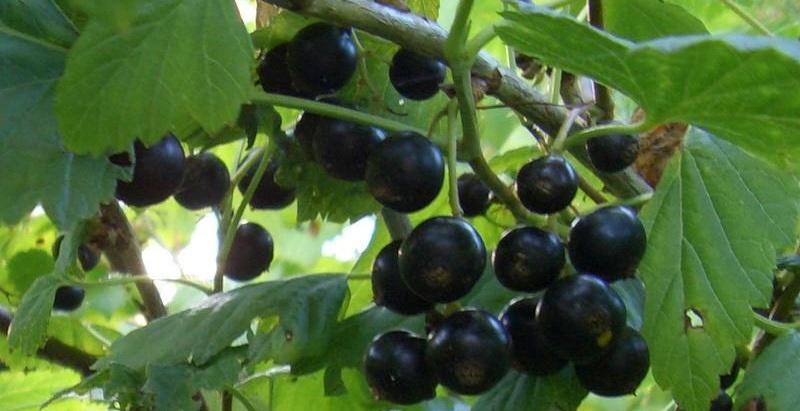 Сорт смородины черной: Душистая