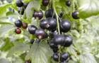 Сорт смородины черной: Экстрим