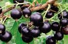 Сорт смородины черной: Элевеста