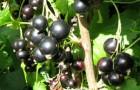 Сорт смородины черной: Гера