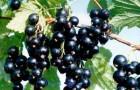 Сорт смородины черной: Гулливер