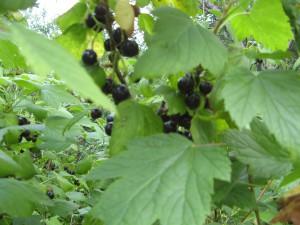 Сорт смородины черной: Искушение