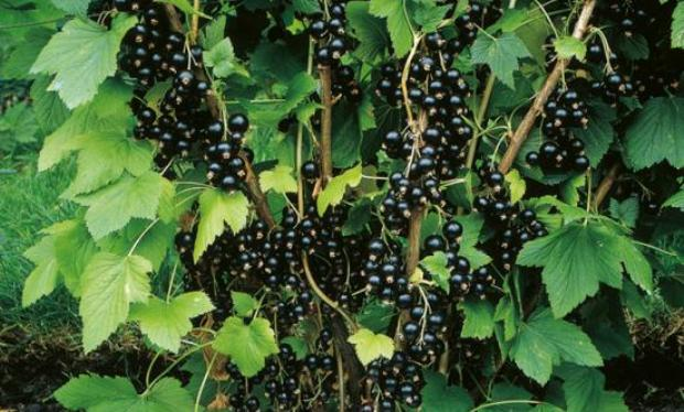 Сорт смородины черной: Измайловская