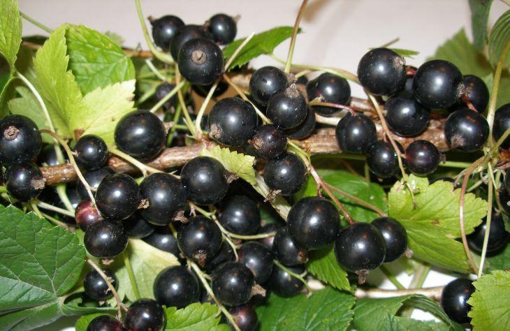 Сорт смородины черной: Караидель