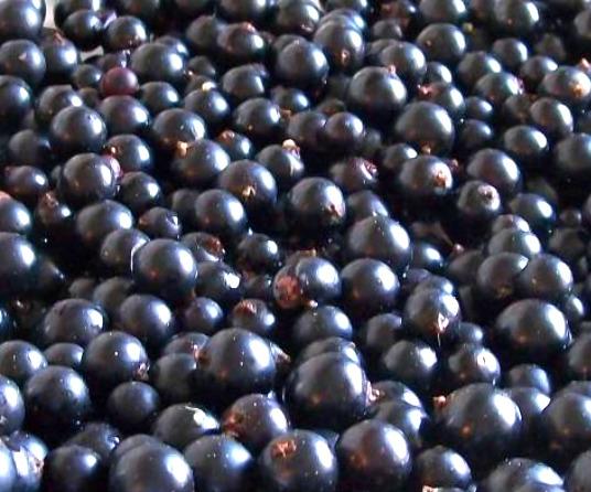 Сорт смородины черной: Кармелита