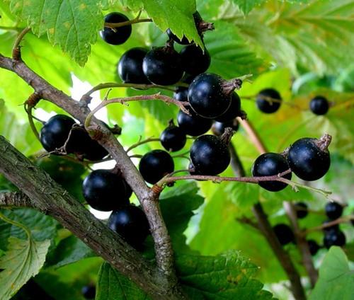 Сорт смородины черной: Кольский сувенир