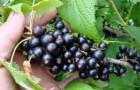Сорт смородины черной: Кушнаренковская