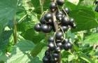 Сорт смородины черной: Лама