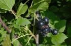 Сорт смородины черной: Литвиновская
