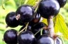 Сорт смородины черной: Любимица Бакчара