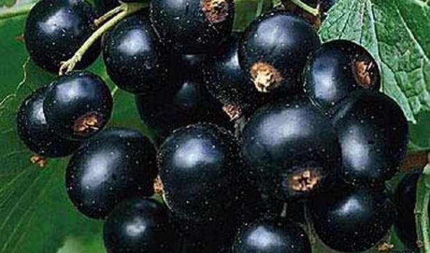 Сорт смородины черной: Миасская чёрная