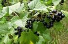 Сорт смородины черной: Мила