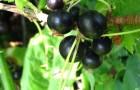Сорт смородины черной: Минай шмырёв