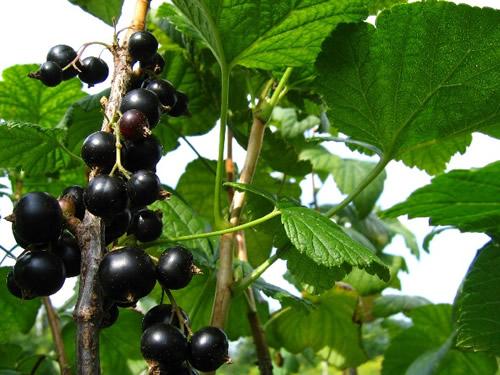 Сорт смородины черной: Минусинская сладкая