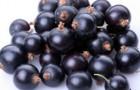 Сорт смородины черной: Московская