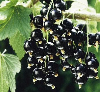 Сорт смородины черной: Мюрючана