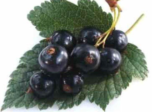 Сорт смородины черной: Надина