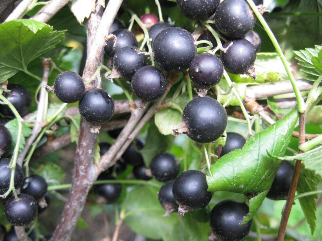 Сорт смородины черной: Нестер Козин
