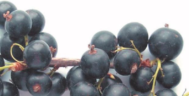 Сорт смородины черной: Ника