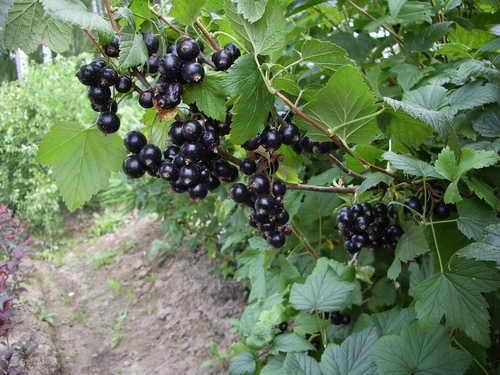 Сорт смородины черной: Оджебин