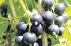 Сорт смородины черной: Орловская серенада