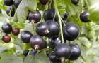 Сорт смородины черной: Орловский вальс