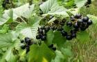 Сорт смородины черной: Память Вавилова