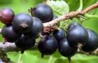 Сорт смородины черной: Партизанка Брянская